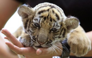 Thai veterinarian Phimchanok Srongmongkul holds a baby tiger cub after feeding at the Wildlife Health Unit at the Department of National Parks in Bngkok Thailand on Friday, Aug. 27, 2010. Thai authorities found the baby tiger cub that had been drugged and hidden among stuffed toy tigers in the suitcase of a woman flying from Bangkok to Iran, an official and a wildlife protection group said Friday. (AP Photo/Sakchai Lalit)